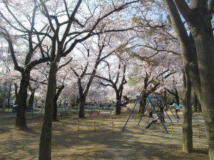 20150403花小金井からも、お花見特集をお届けします!6