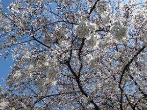 20150401大きな桜の木がある商店街の広場へ出かけてきました♪